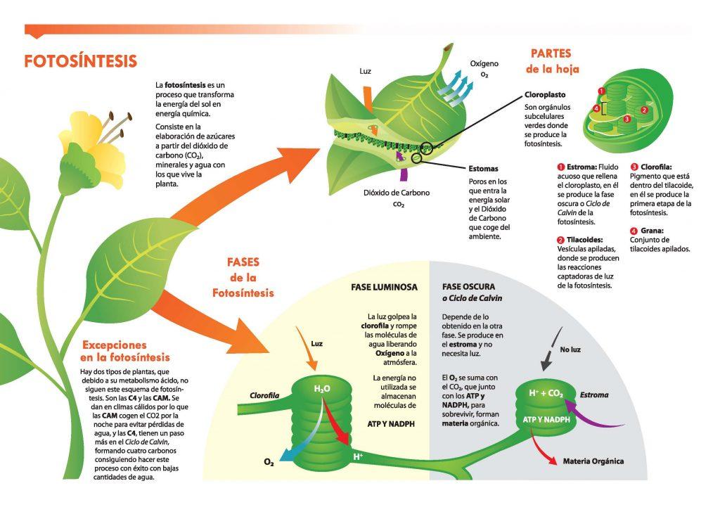 Resultado de imagen de el proceso de conversión del CO2 en moléculas orgánicas a través de la fotosíntesis