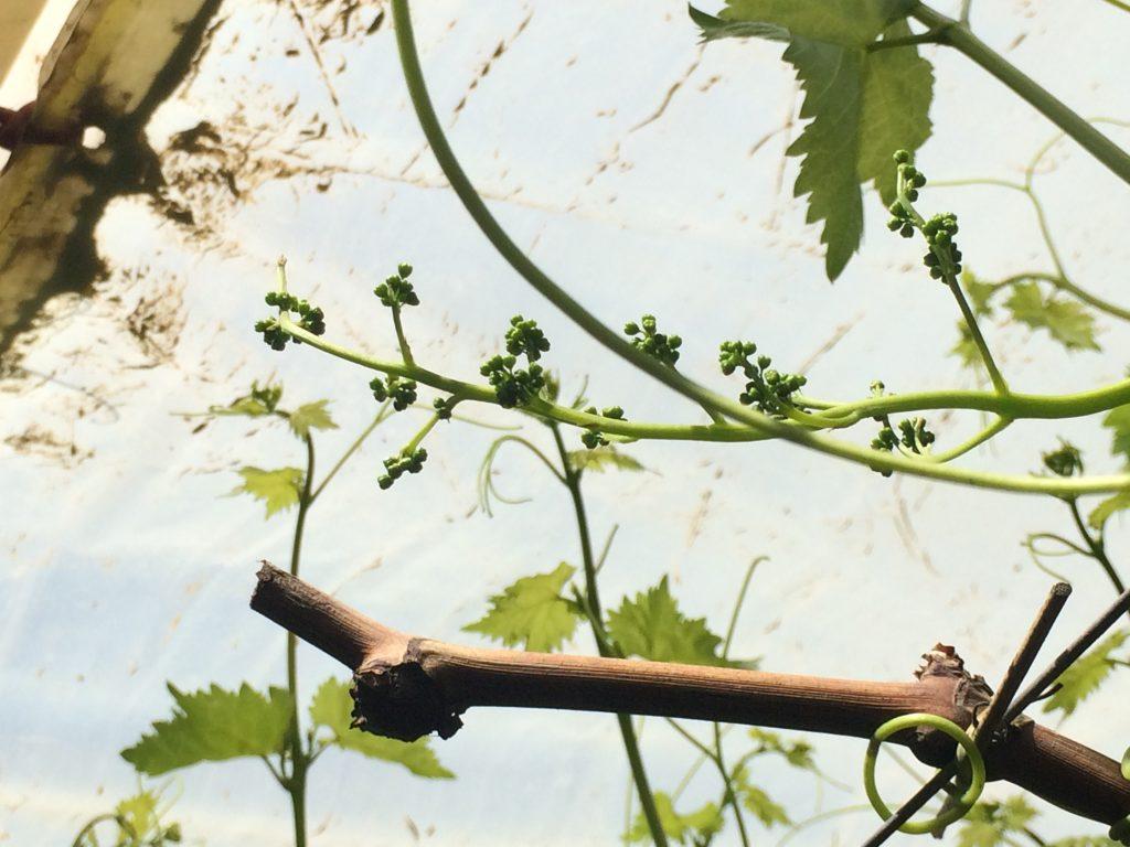 Columna técnica: Corrimiento o Filage, cuando la uva se esfuma