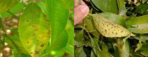 fungus-effects-in-citrus-plant-health-service-valencia