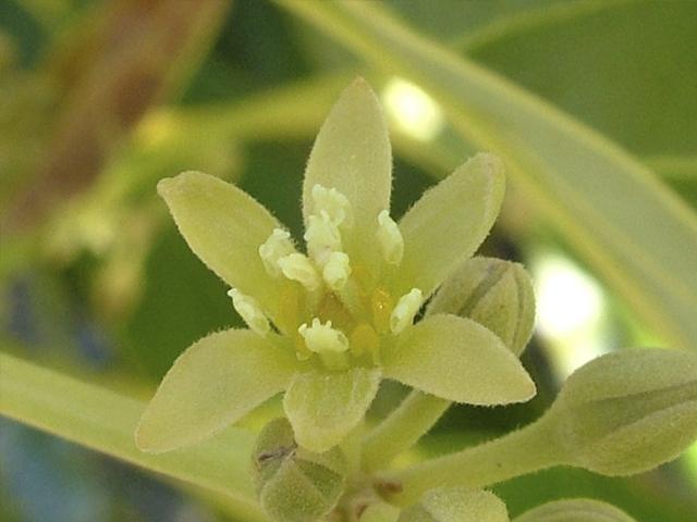 avocado-flower-male