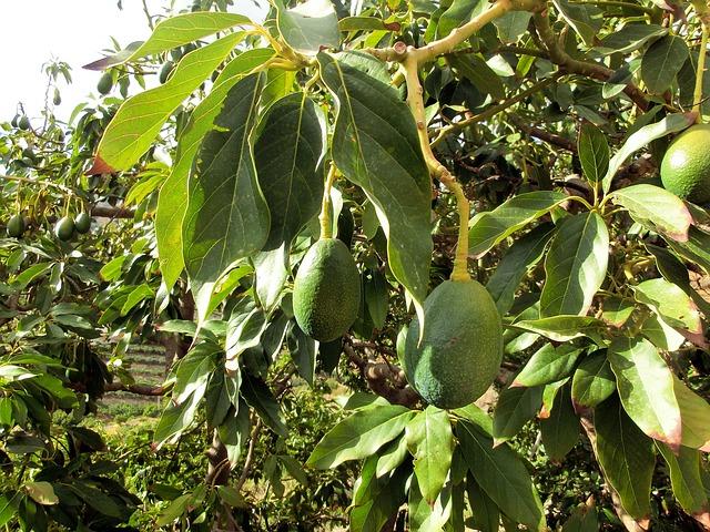avocado-454288_640