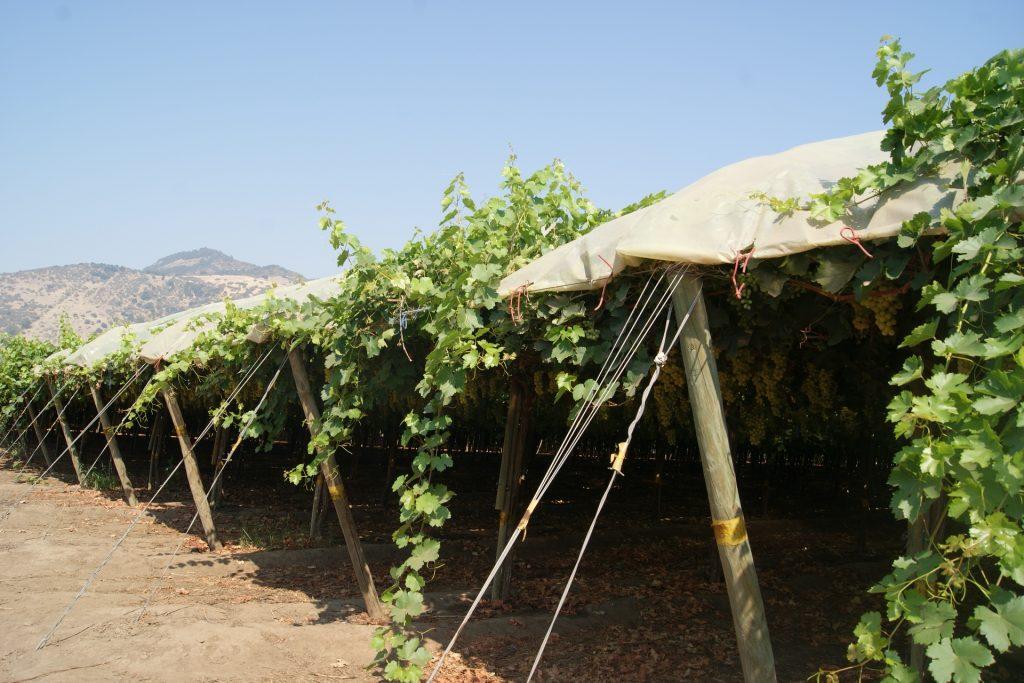 Investigación de INIA desafía la naturaleza: ¿Es posible producir uvas de mesa en el sur de Chile?