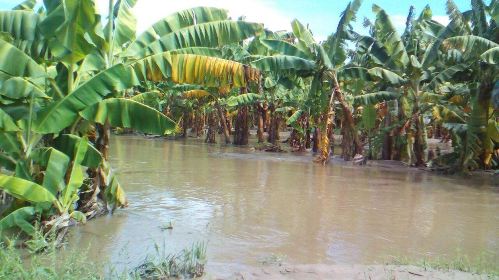 Niño Costero en Perú: Bananos orgánicos la principal víctima