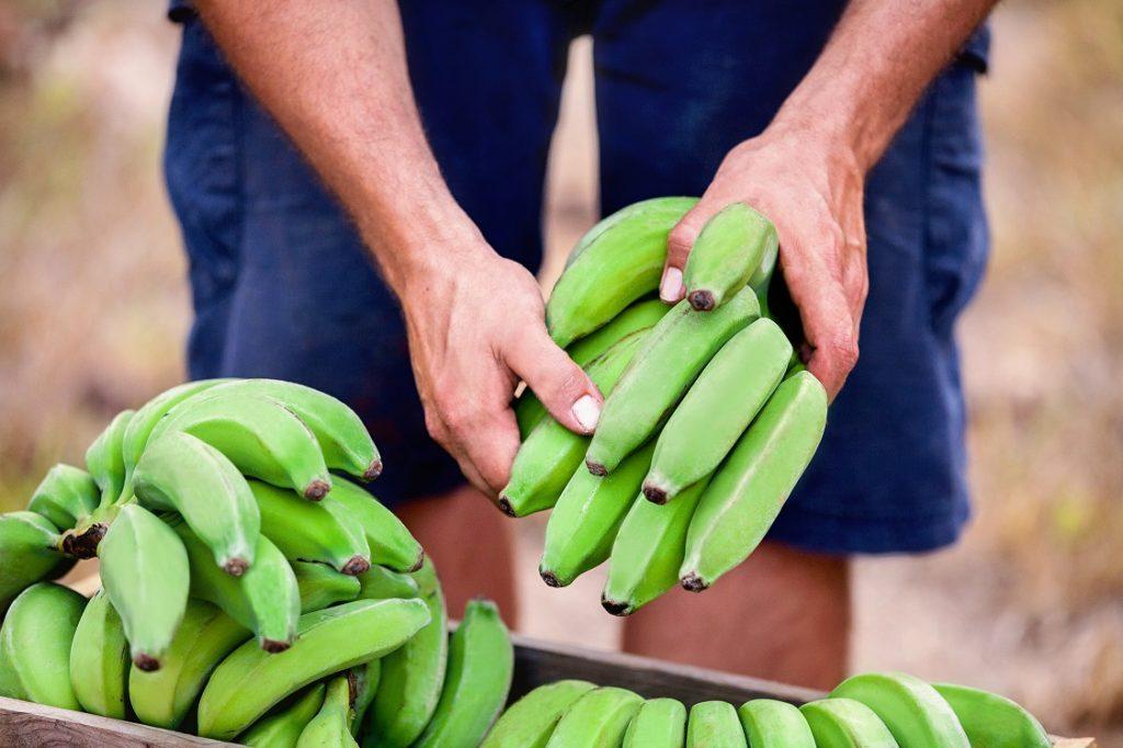 Innovación: Plátanos verdes desechados convertidos en harina, cosméticos y almidón resistente
