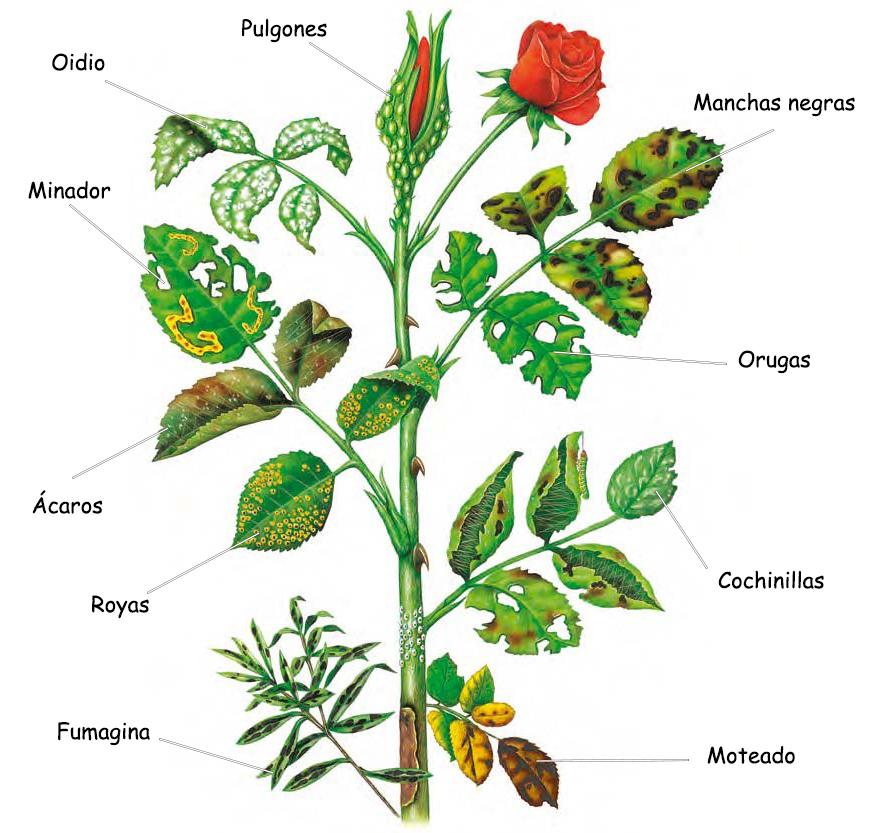 Plagas y enfermedades en los rosales c mo prevenir y for Hongos en las plantas de jardin