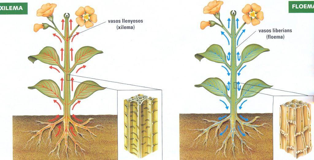 Floema y xilema