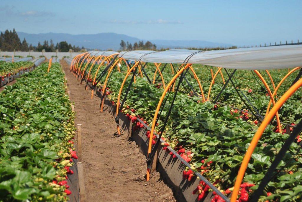Chile: Vivero líder de frutillas lanza nuevas variedades desarrolladas en California