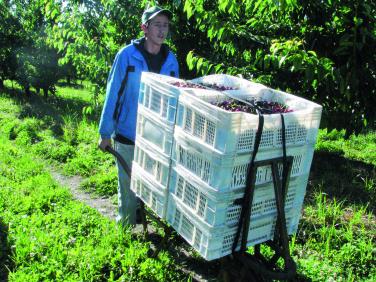 cosecha de cerezas