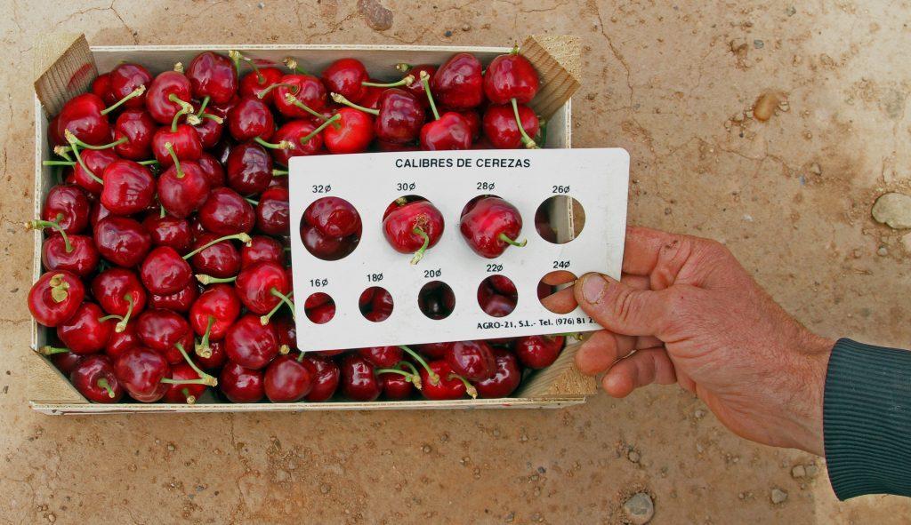 Guía de prácticas y manejos en cosecha de cerezas