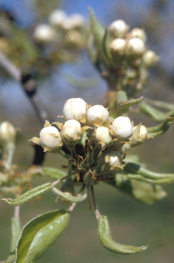 Agroa gu a fruticultura estados fenol gicos de rboles for Arboles frutales de hoja caduca