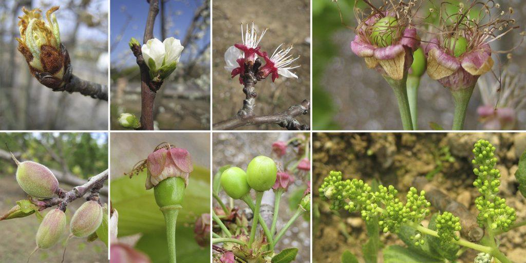 Guía fruticultura: Estados fenológicos de árboles frutales de hoja caduca, en imágenes