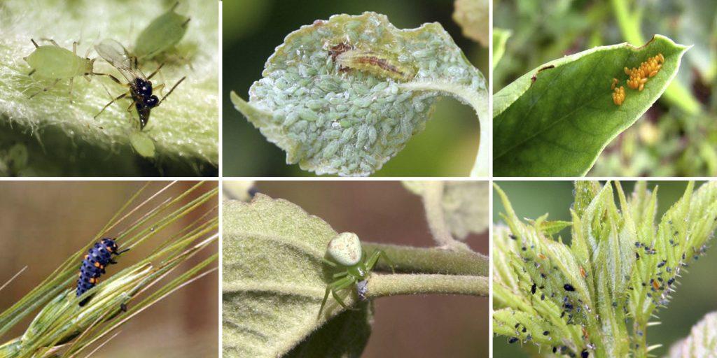 Insectos benéficos y enemigos naturales para el control de pulgones. Guía fotográfica