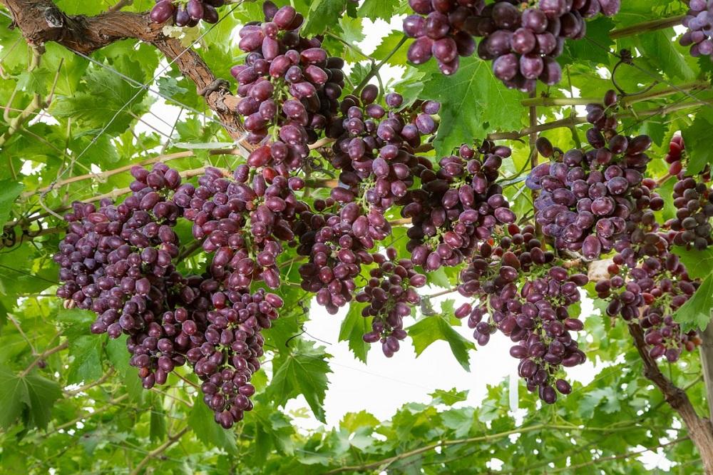 Productores de uva de mesa visitan chile para conocer nuevas variedades - Variedades de uva de mesa ...