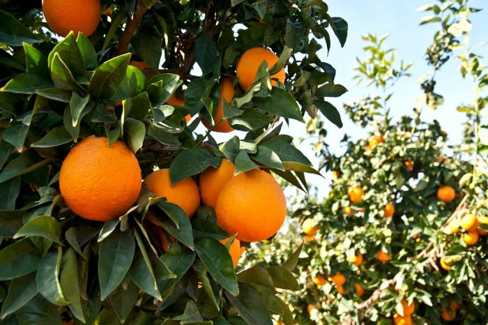 Debido a problemas hídricos en Brasil, el suministro de naranjas podría peligrar