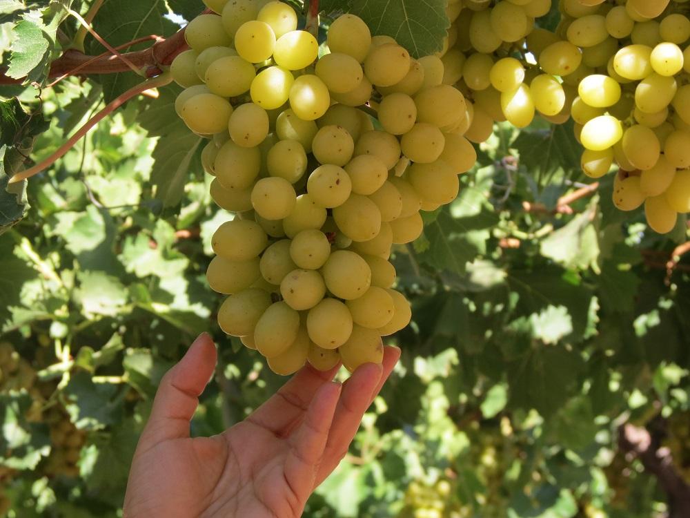 Ilusión, una uva con sabor de antaño para los consumidores chilenos