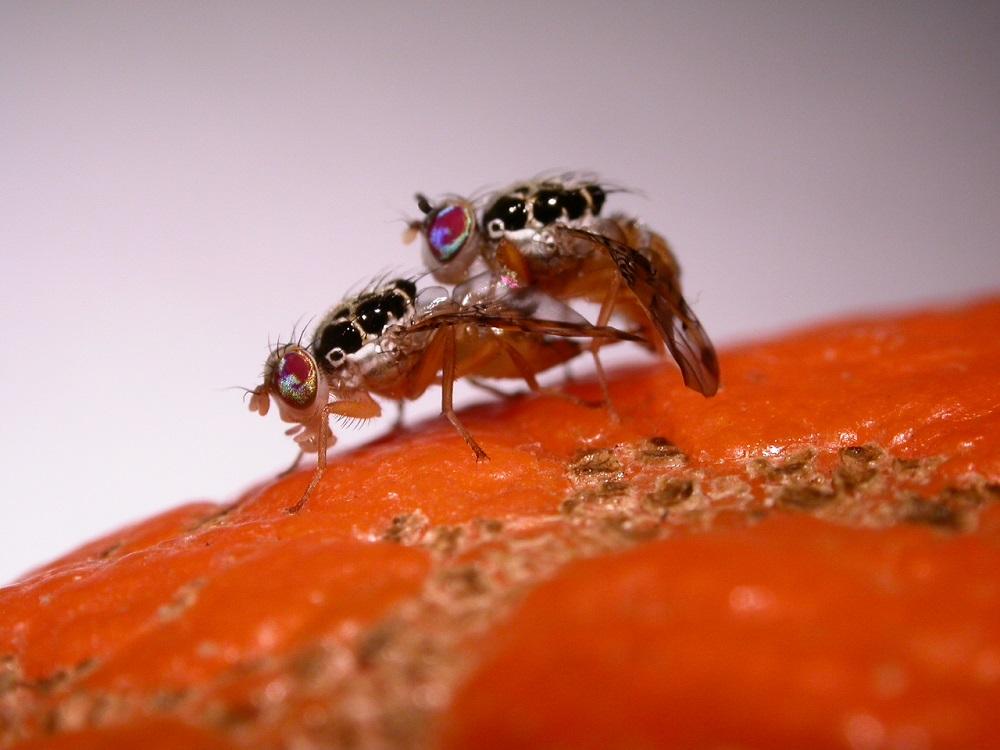 Chile: SAG detecta mosca de la fruta en Los Andes