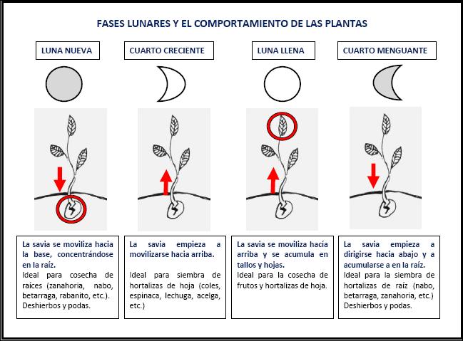 Cómo influyen las fases de la Luna en el desarrollo de las ...