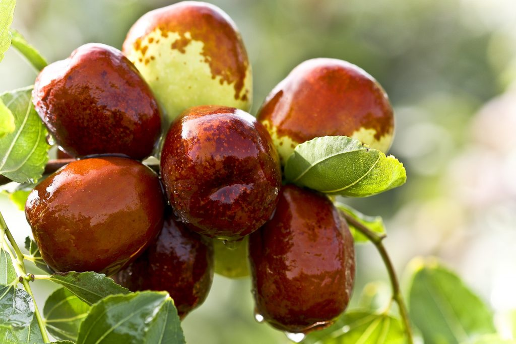 Cómo cultivar un azufaifo o jinjolero: un frutal para cuerpo y mente