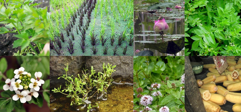 Guía de plantas acuáticas comestibles para cultivar en estanques. ¡Te  sorprenderás! - 533435b2caf