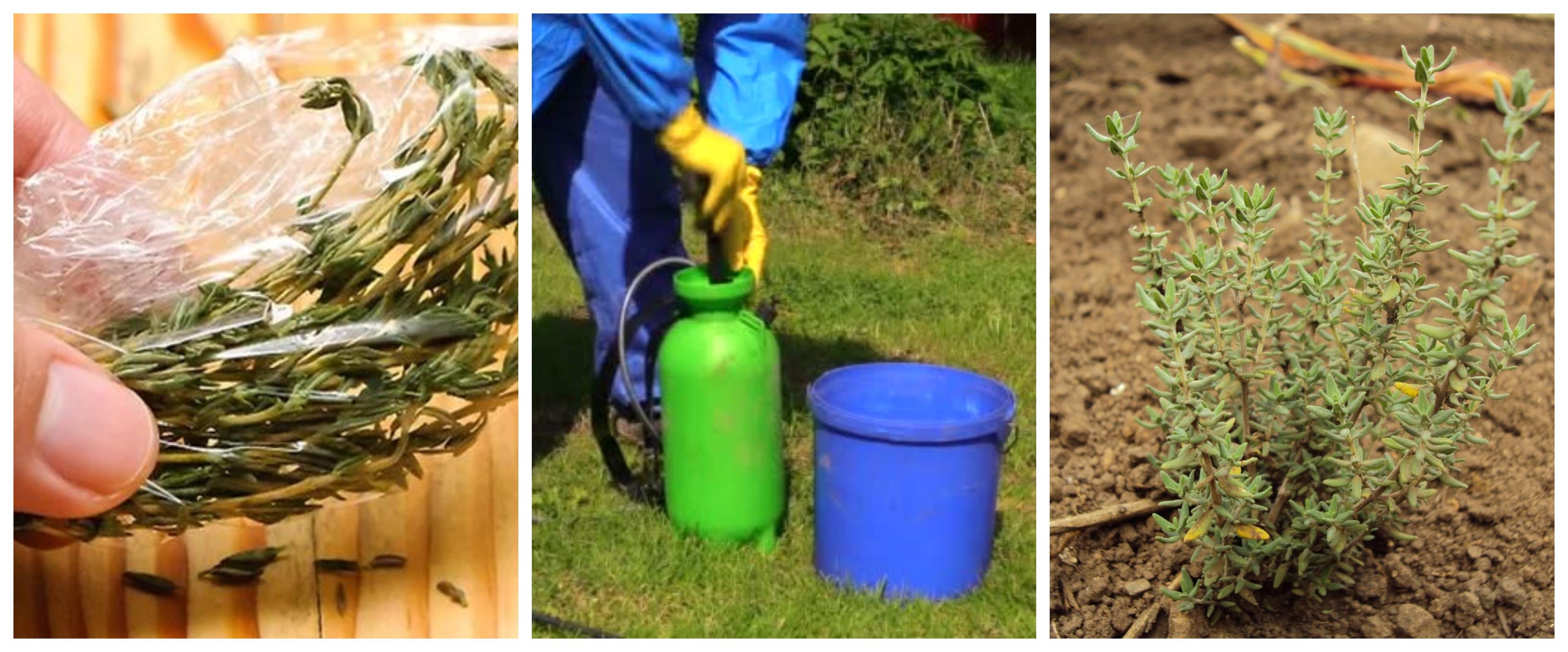 Preparación De Extracto De Tomillo Como Fungicida Y Bactericida