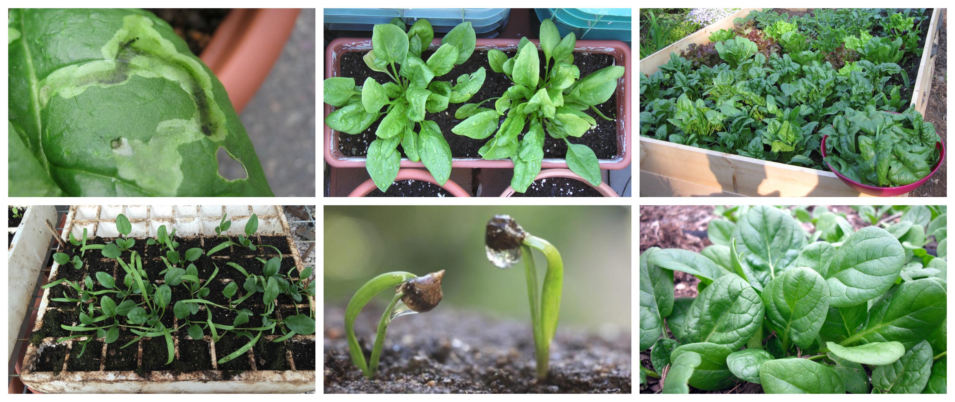 Guía básica para el cultivo de la espinaca -