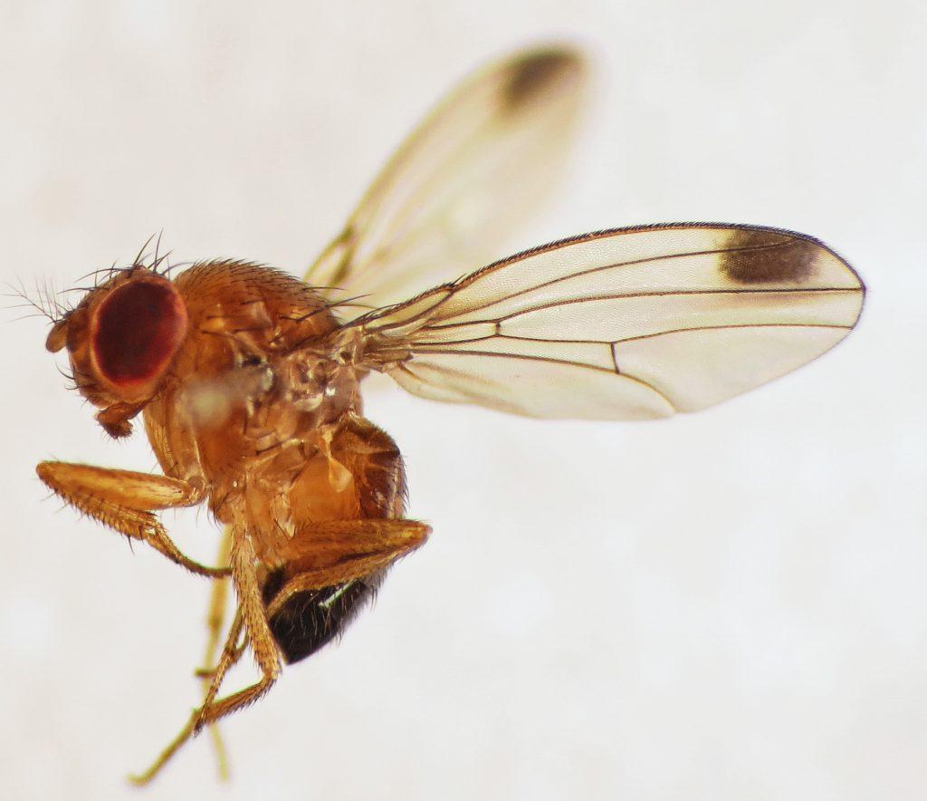 INIA realiza seminario sobre actualización de Drosophila Suzukii en Chile y acciones de control de la plaga