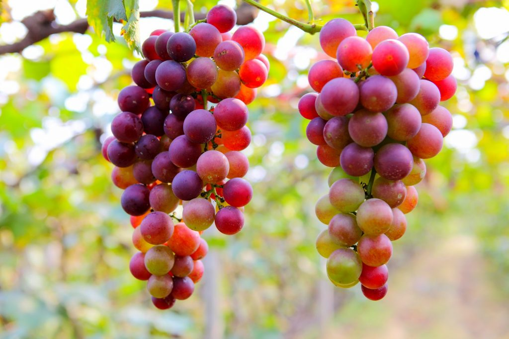 Estudio: Consumo de uva podría proteger contra el daño de los rayos UV en la piel