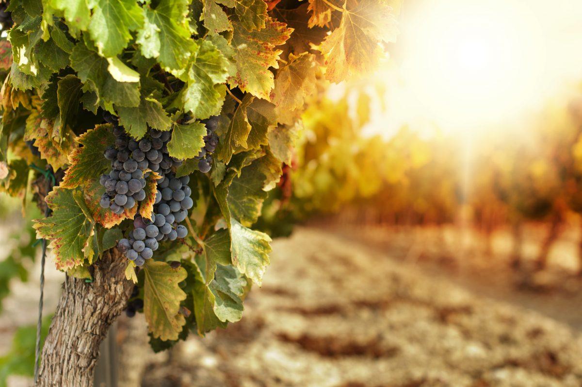 España entraría a China con múltiples variedades de uva premium en julio 2019