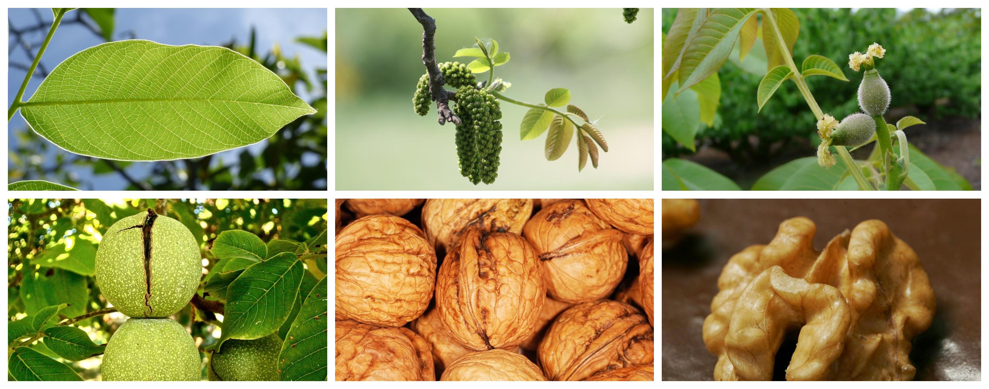 Manejos Basicos Para El Cultivo Y Produccion Del Nogal