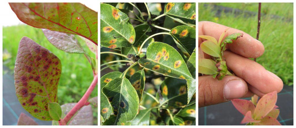 Guía de síntomas de deficiencias de micronutrientes en las plantas