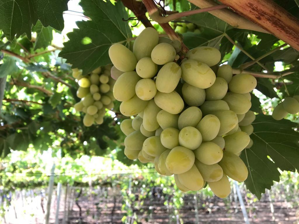 Los avances de Chile para crear nuevas variedades de uva de mesa