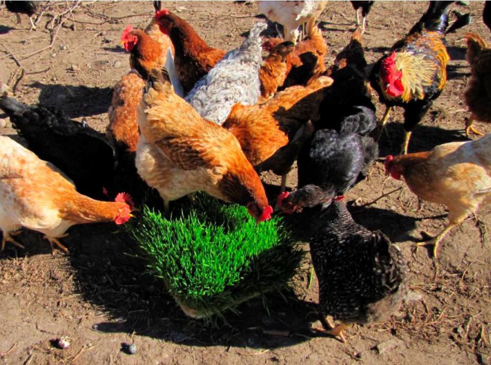 Forraje hidropónico, una opción para la pequeña ganadería 1