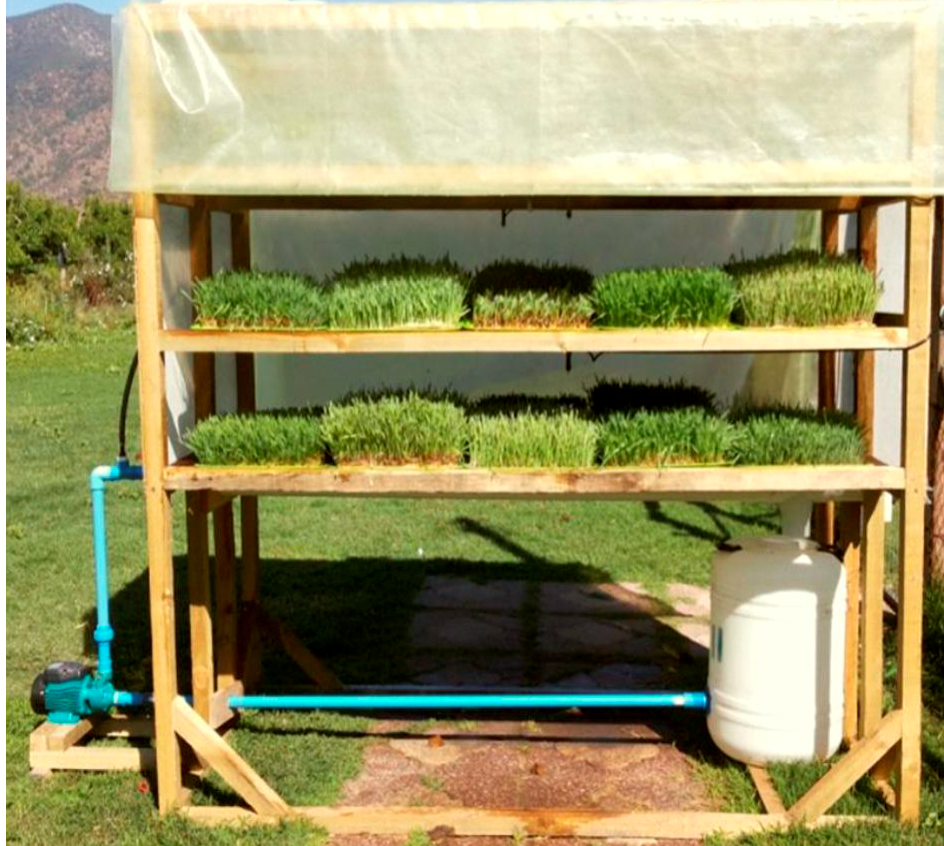 Forraje hidropónico, una opción para la pequeña ganadería 7