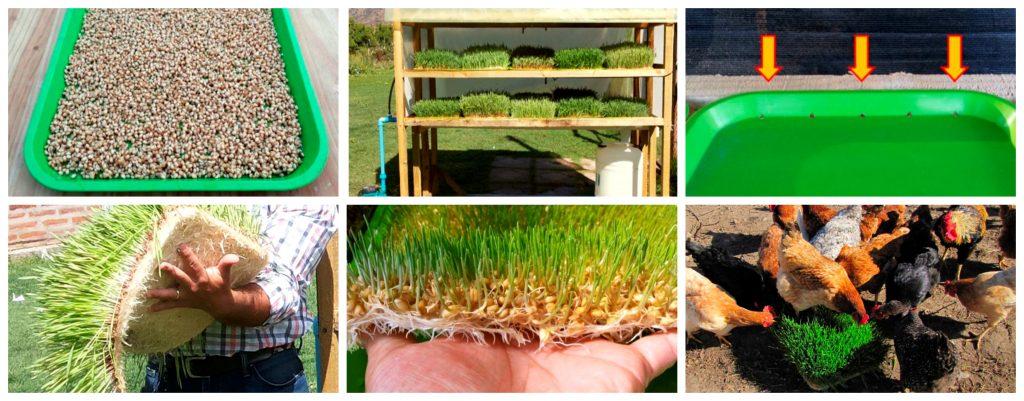 Producción de forraje verde hidropónico para la pequeña agricultura