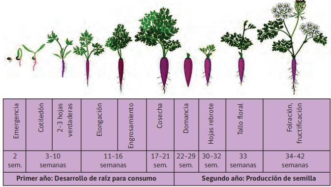 fenología del cultivo de la zanahoria