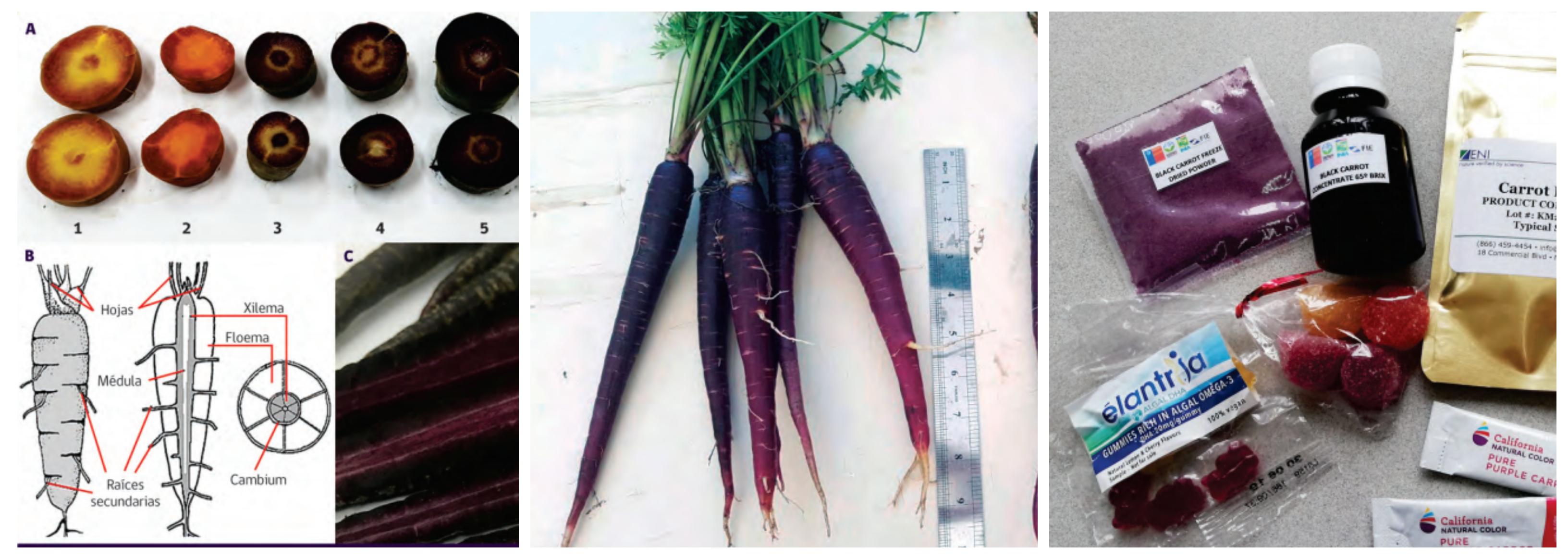Zanahoria Morada Potencial Materia Prima Para Color Y Antioxidante Actualidad, última hora, hemeroteca, vídeos, y fotos. zanahoria morada potencial materia