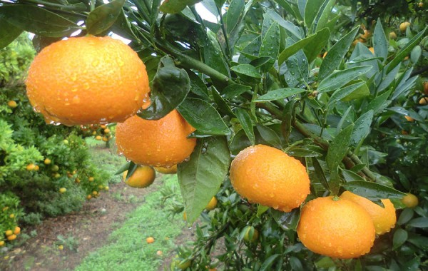clementinas de nules