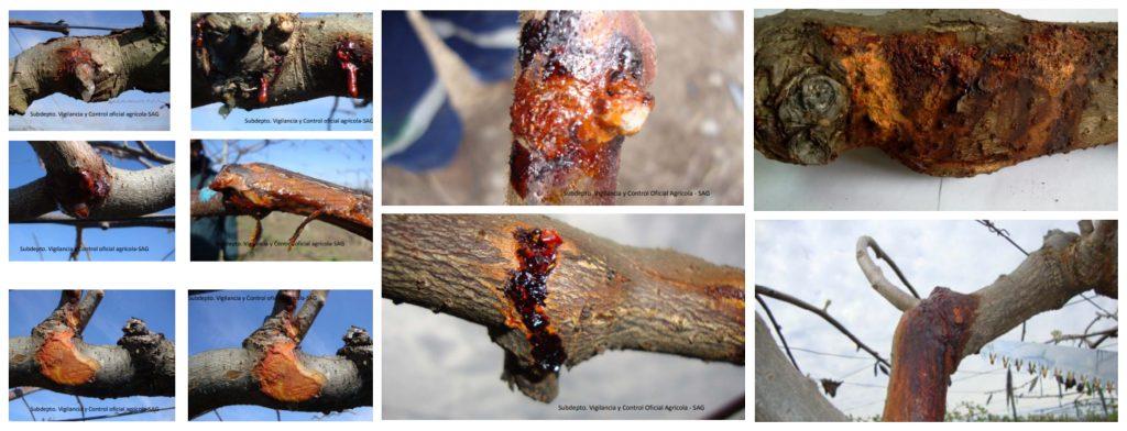 Bacteriosis del kiwi (PSA): Síntomas y control
