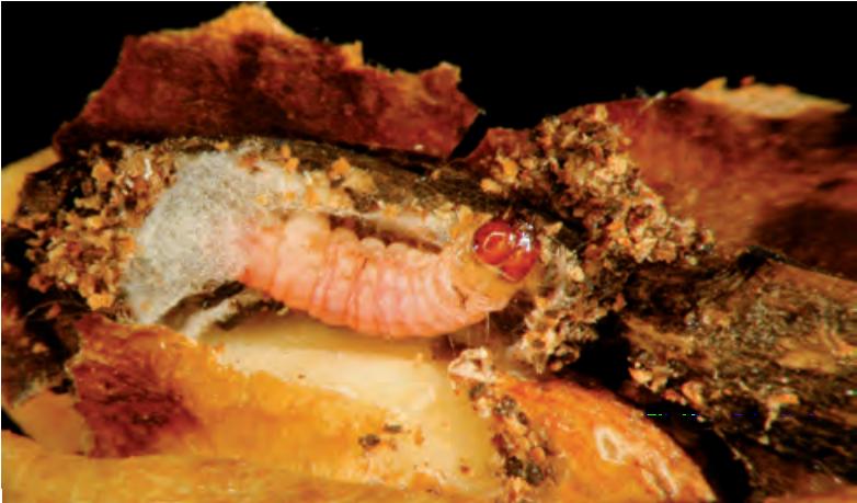 polilla del algarrobo