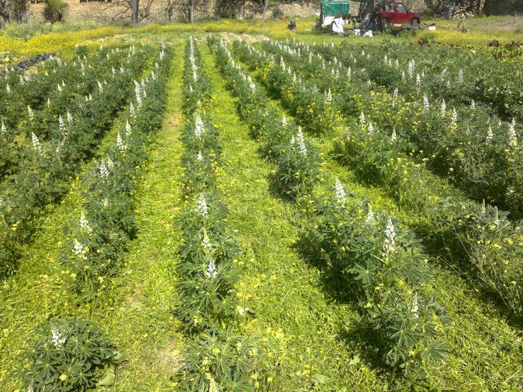 abonos verdes en agricultura