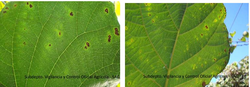 Síntomas de necrosis en hojas asociado a PSA