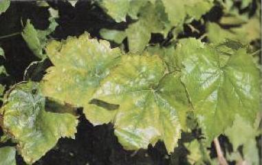 deficiencia de potasio en hojas