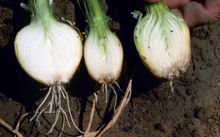 podredumbre basal cebolla