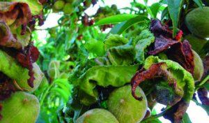 hojas deformadas