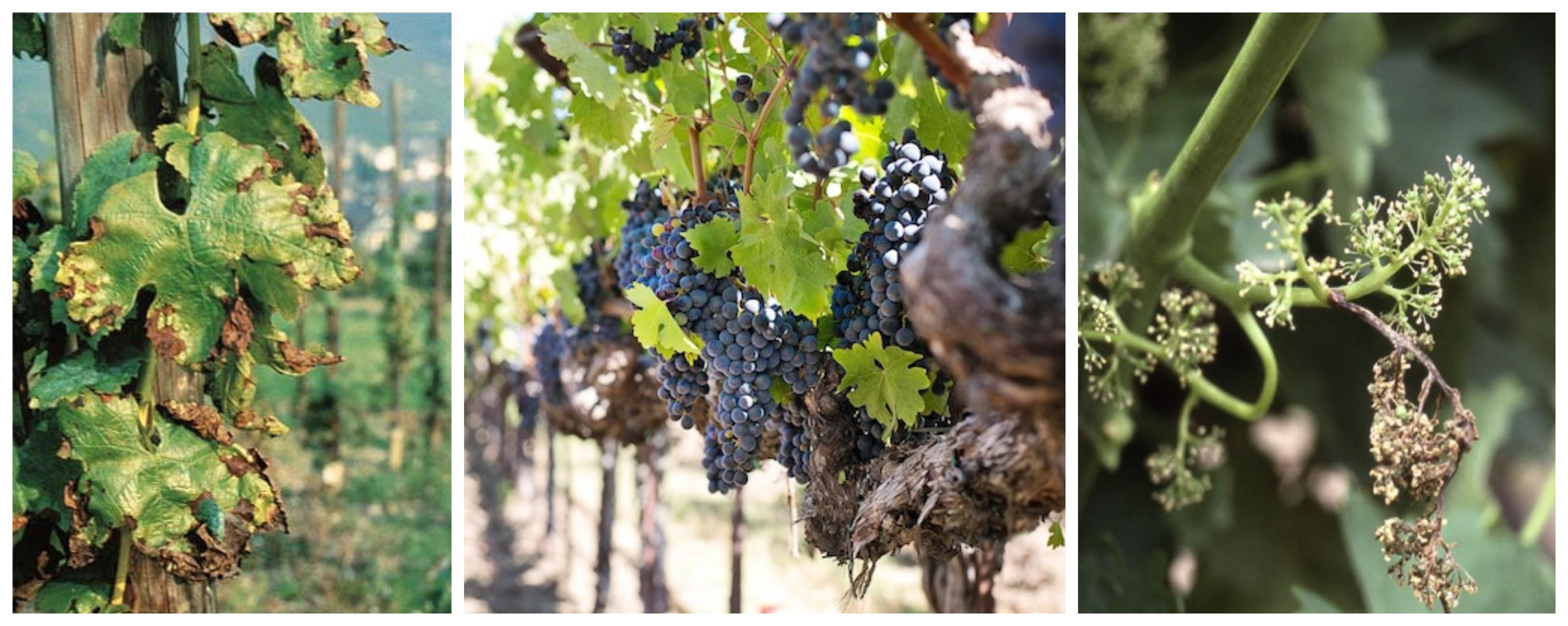 fertilización y vino