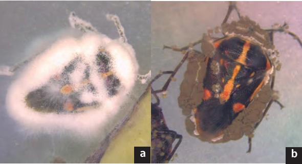 infección entomopatógenos