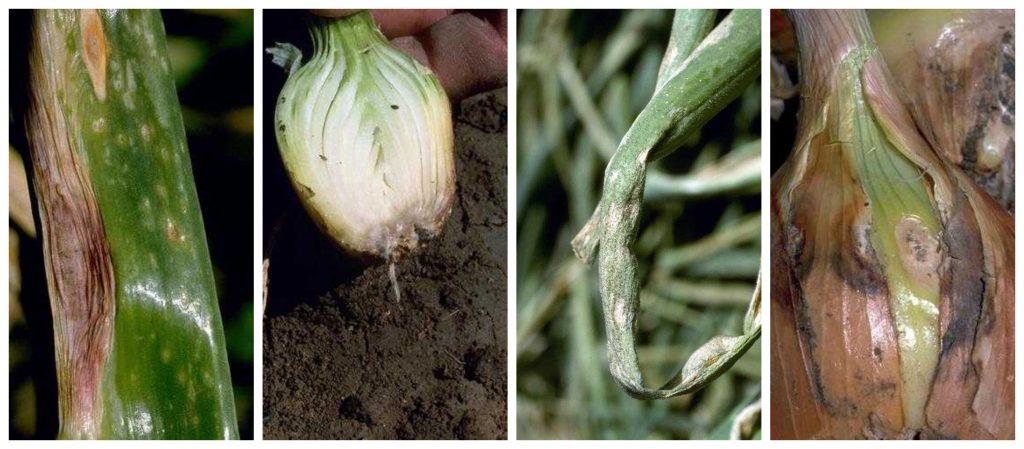 cuatro enfermedades de la cebolla