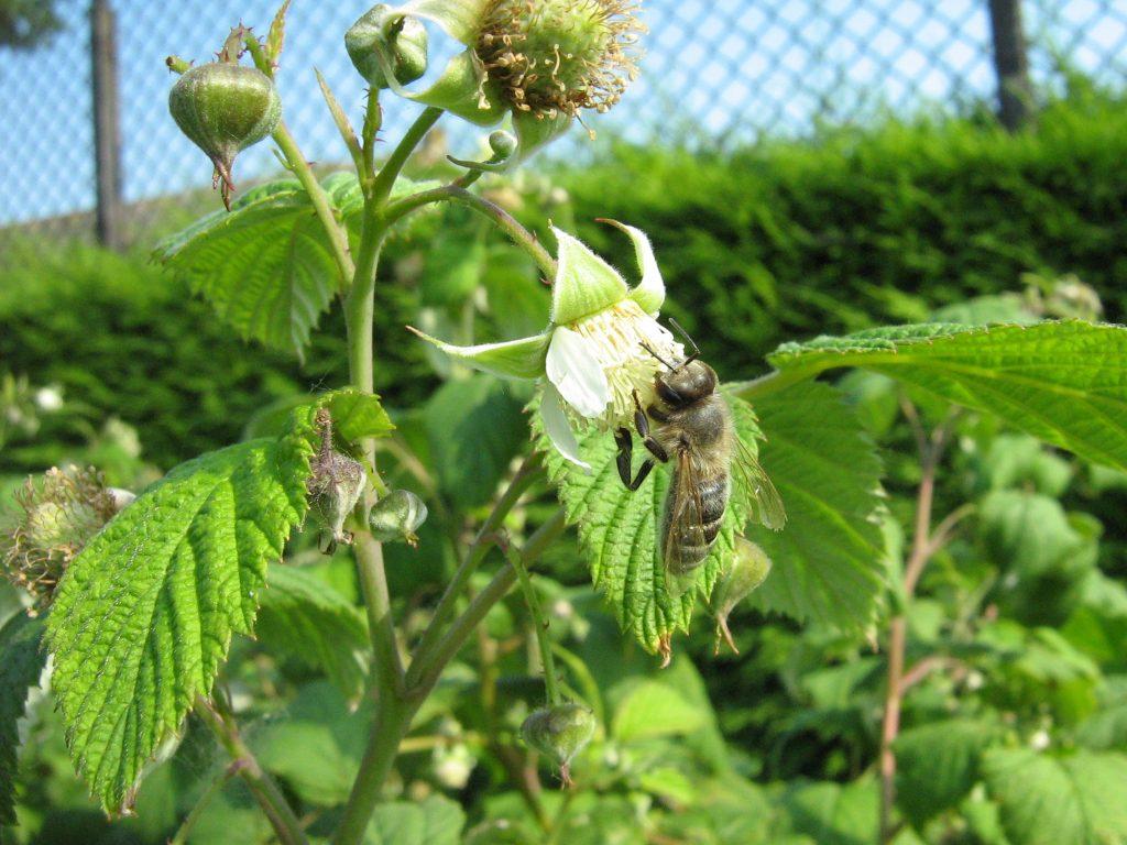 abeja en flor de frambuesa