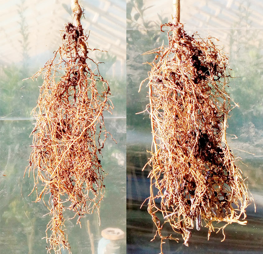 Eficagua comparación de raíces de limón