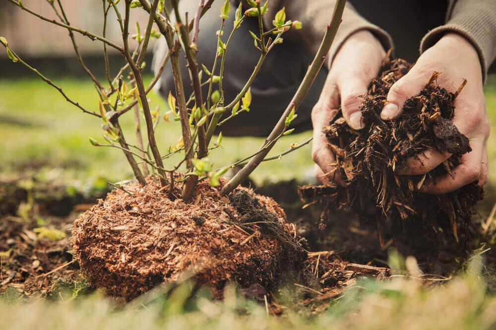 fertilización orgánica del arándano